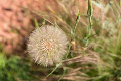 Dandelion, Sedona AZ Stock Image