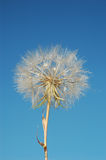 Dandelion seed Stock Photography