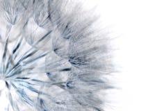 Dandelion seed Royalty Free Stock Image