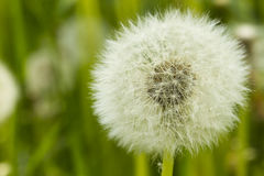 Dandelion Seed Stock Photos