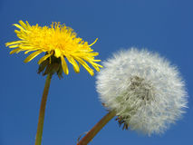 Dandelion and seed. Macro a dandelion and seed on blue background Royalty Free Stock Photography