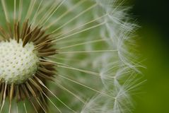 Dandelion seed Royalty Free Stock Image