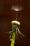 Dandelion Seed Royalty Free Stock Photo