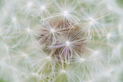 Dandelion seed abstract Stock Image