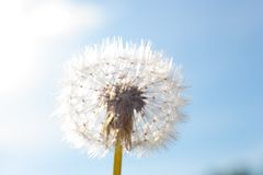 Dandelion with seed Royalty Free Stock Images
