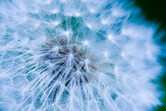 Dandelion Seed Background Stock Photography