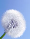 Dandelion seed ball. Dandelion fluffy seed ball against clear blue sky Stock Images
