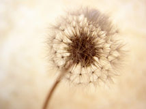 Dandelion seed ball Royalty Free Stock Photos