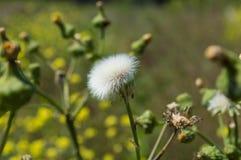 Dandelion In Seed Stock Photo