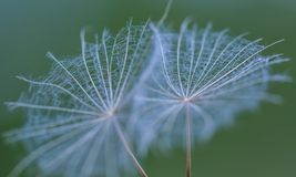 Dandelion seed in big close up stock photography