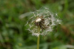 Dandelion seed bloom bursting forth. Considered to be a weed stock image