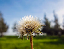 Dandelion Seed Blowing in the Wind Stock Image