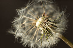 Dandelion. Seed on a blurry background stock image