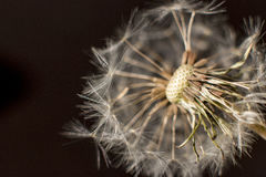 Dandelion. Seed on a blurry background stock photography