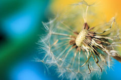 Dandelion. Seed on a blurry background stock photos