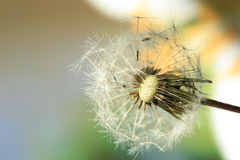 Dandelion. Seed on a blurry background royalty free stock photography