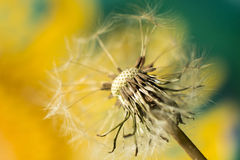 Dandelion. Seed on a blurry background royalty free stock image