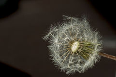Dandelion. Seed on a blurry background royalty free stock images