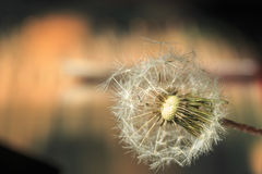 Dandelion. Seed on a blurry background royalty free stock photos