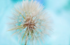 Dandelion seed cap on abstract blue background Royalty Free Stock Photos