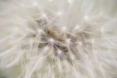 Dandelion seed cap ready to fly away, Royalty Free Stock Image