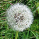 Dandelion seed clock. Close up of a dandelion clock against a grass background Stock Photography