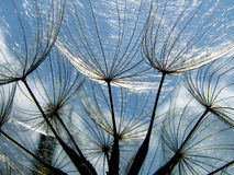 Dandelion Seed Close Up Stock Images