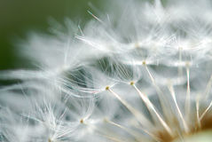 Dandelion Seed Close Up stock photo
