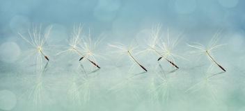 Dandelion seed close-up. Panoramic image of a dandelion seed close-up Royalty Free Stock Images