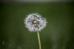Dandelion seed. Close up view of a dandelion seed head Stock Photos