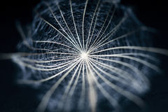 Dandelion seed with details and reflexion on black. Background Stock Images