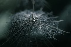 A dandelion seed with a drop of dew on a dark background. Selective focus.  Stock Image