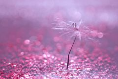 A dandelion seed with a drop of water is in sparkling sparkles. Blurred pink background. Selective focus Stock Image