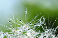 Dandelion seed with drops Royalty Free Stock Photos