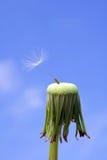 Dandelion seed: endurance Stock Image