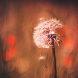 Dandelion with seed falling in the wind Stock Photo