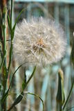 Dandelion Seed Stock Photos