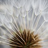 The dandelion seed in the garden royalty free stock photography