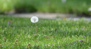 Dandelion in seed Royalty Free Stock Images