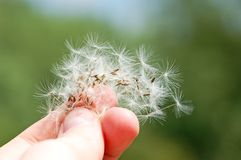 Dandelion seed in hand Stock Images