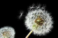 Dandelion seed head stock images