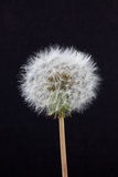 Dandelion Seed Head Royalty Free Stock Photos