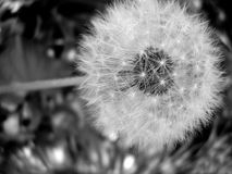Dandelion Seed Head. Dandelion from my yard royalty free stock images