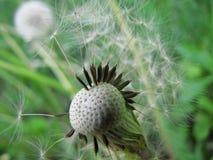 Dandelion seed head Stock Image