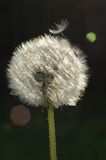 Dandelion seed head. A dandelion seed head waiting for a gentle breeze to disperse the dandelion seeds in the wind Royalty Free Stock Photography