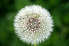 Dandelion Seed Head Stock Photography