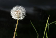 Dandelion Seed Head Stock Photo