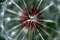 Dandelion Seed Head. Dandelion full seed head with blurred natural background Stock Photo