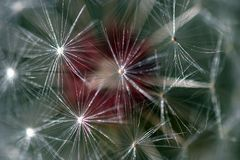 Dandelion Seed Head. Dandelion full seed head with blurred natural background Royalty Free Stock Image