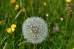 Dandelion seed head. Royalty Free Stock Image